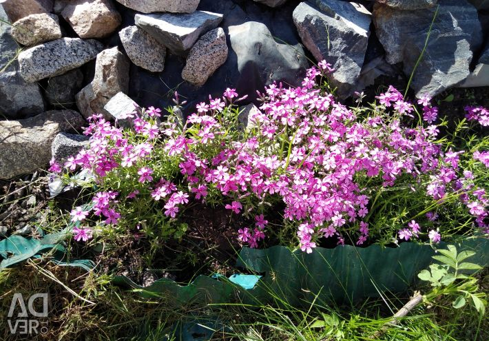 Phlox-shaped