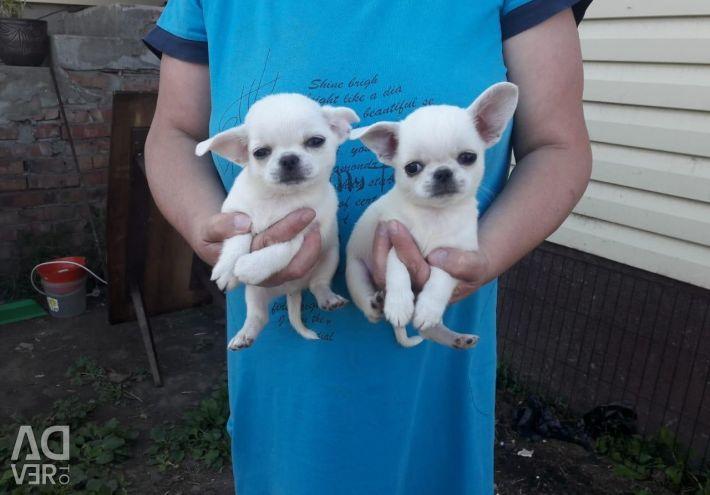 Вязка двух чихуахуа и щенки