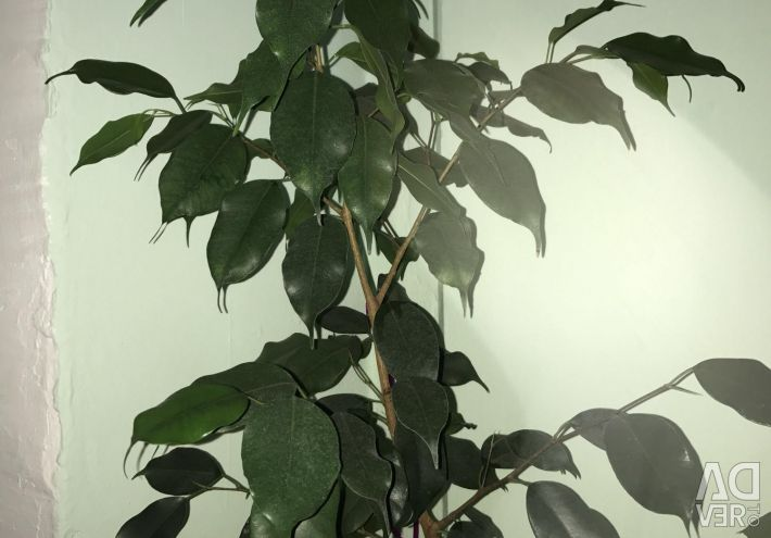 Ficus most