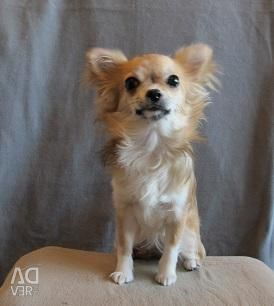 Chihuahua longhaired κορίτσι