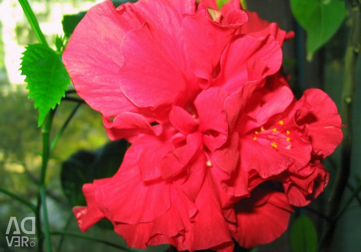 Hibiscus terry-Chinese rose