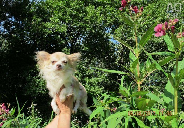 Chihuahua y / w adult boy