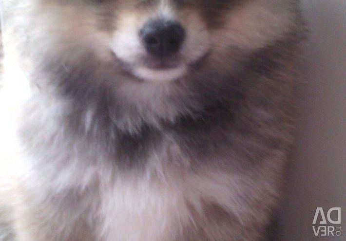 Pomeranya köpeği