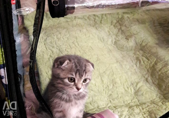Scottish kitty is waiting for her loving mother