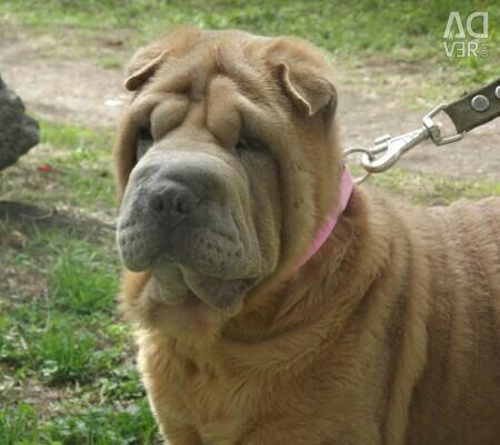Sharpei chic dog rare color