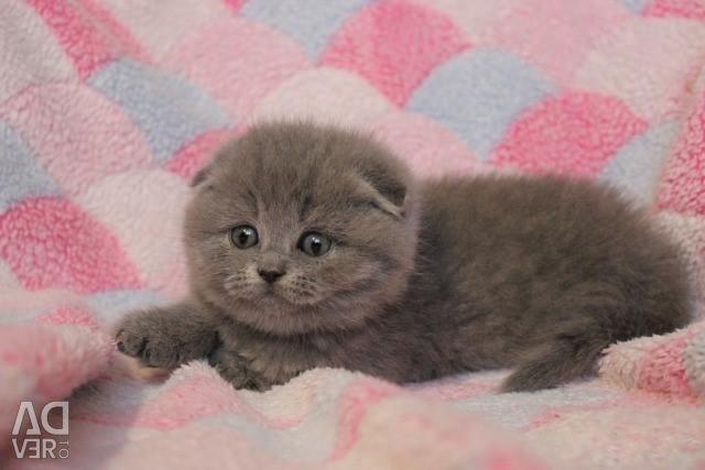 Вислоухие голубые котята