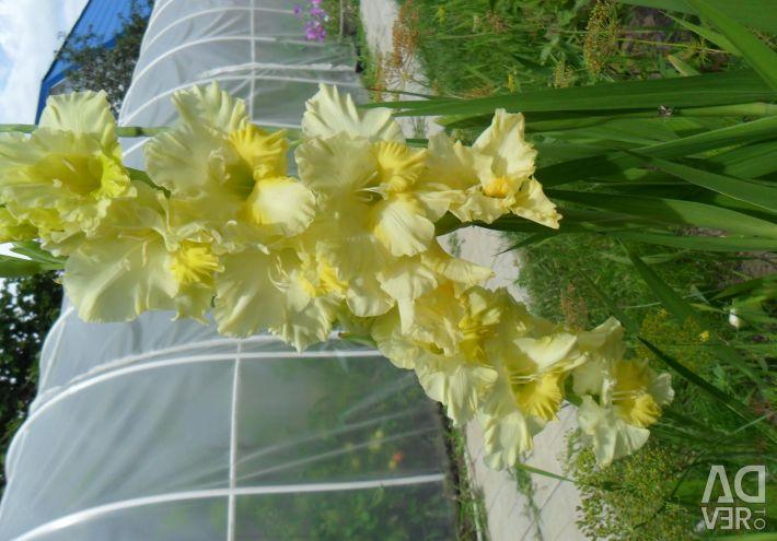 Bulbs of gladioli for the garden and garden