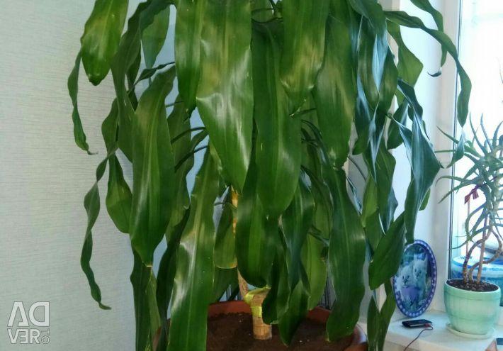 Palmierul în viață