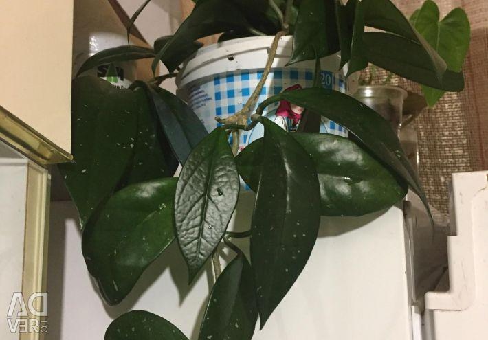Hoya carnesone