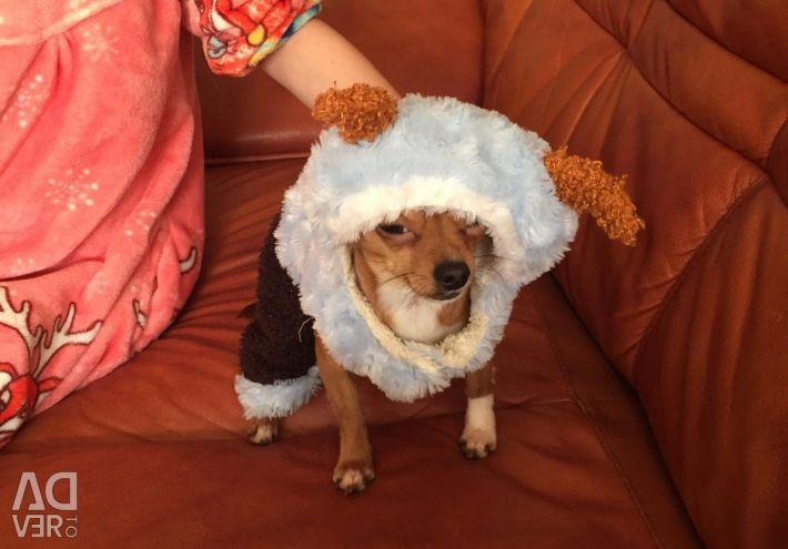 Köpek için takım elbise ve ceket (değişim yapabilirsiniz).