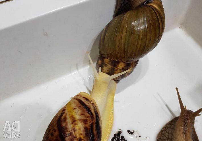 Achatina ενήλικες σαλιγκάρια και μεσαία