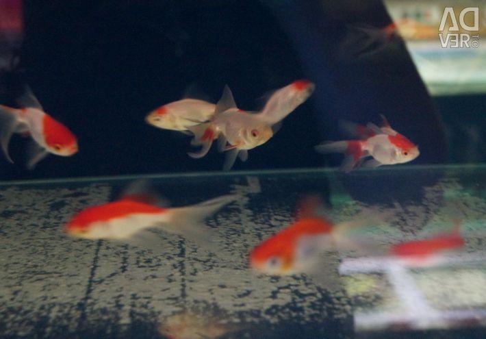 Aquarium goldfish (red and white)