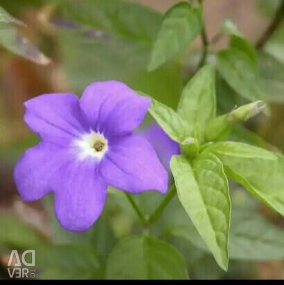 Комнатный цветок. Бровалия.