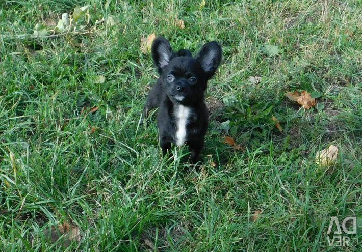 Chihuahua αγόρι, 3,5 μήνες