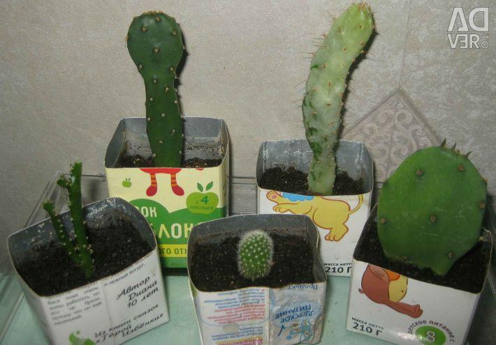Kaktüsler ve sulu meyveler