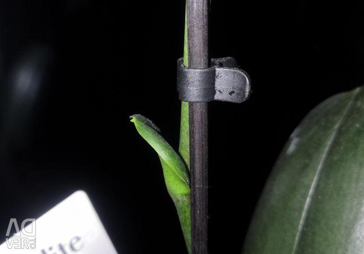 Орхидеи фаленопсисы