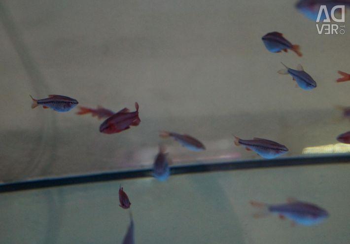 Aquarium fish Barbus cherry