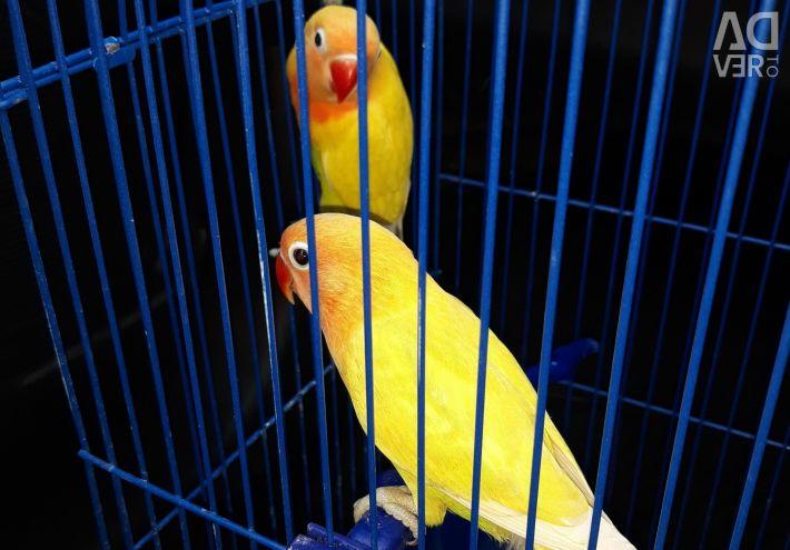 Pair of yellow pastel lovebirds