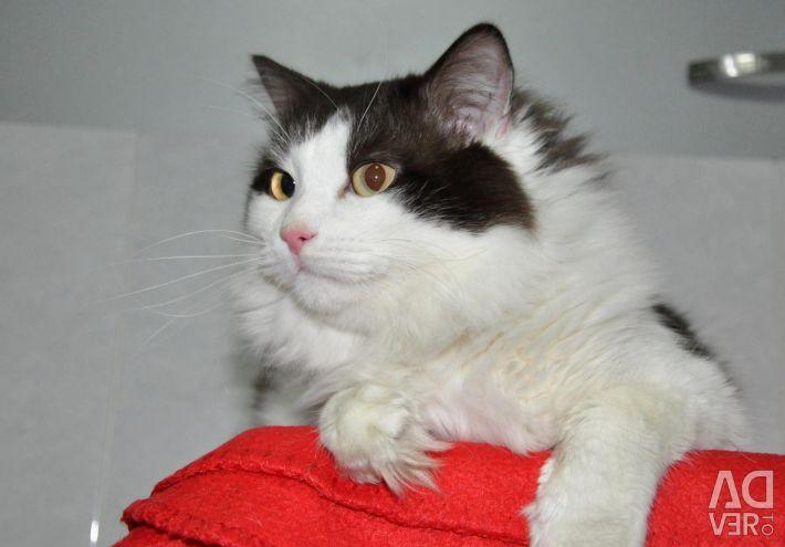 Tânără pisică Smokey