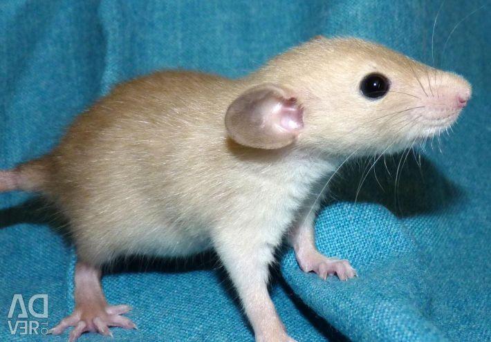 Șobolani. Siamezul șobolanilor.