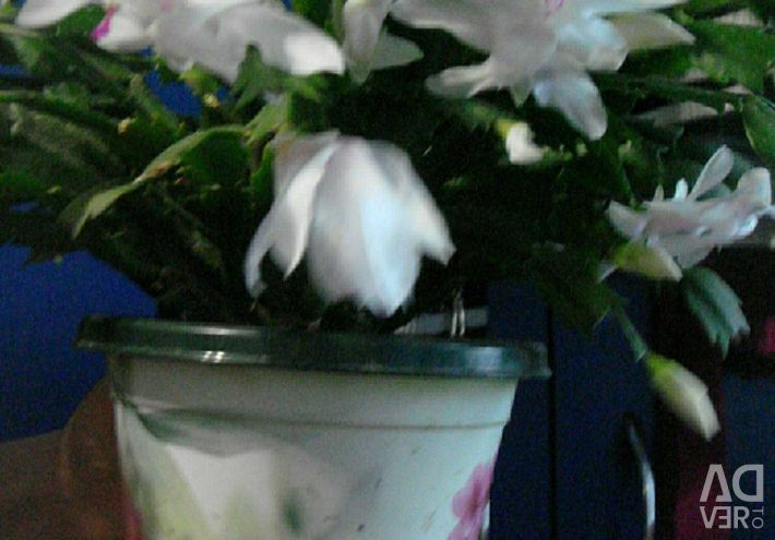 ДЕКАБРИСТ-отростки Белого и Розового цветков