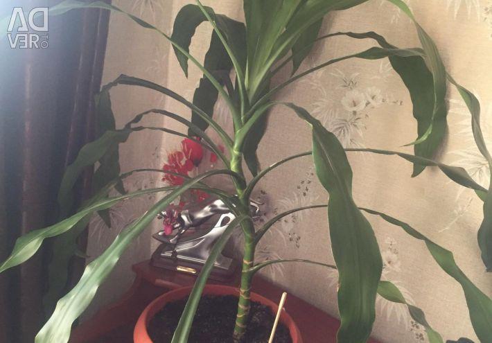Пальма 🌴 (драцена)
