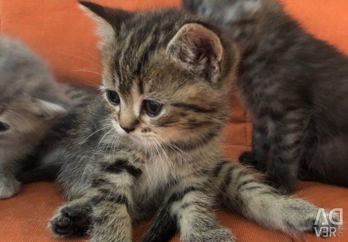 Kittens Scottish Fold