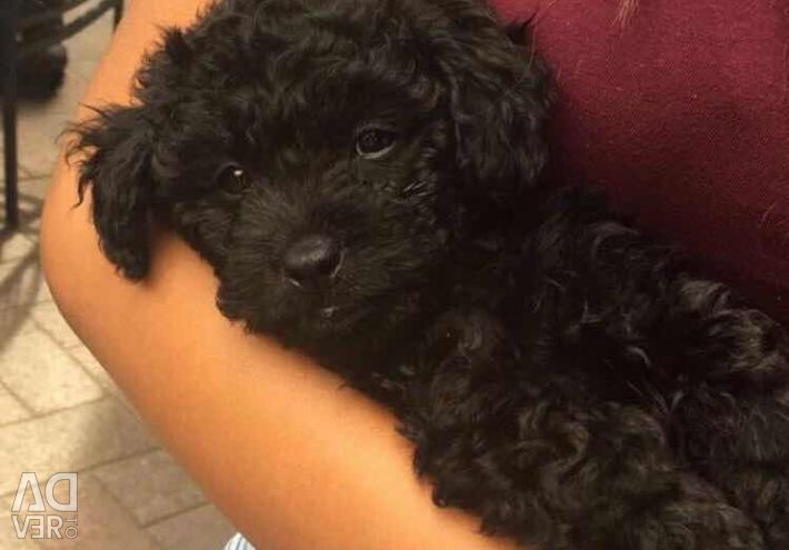 Black purebred Maltese for sale at an affordable p