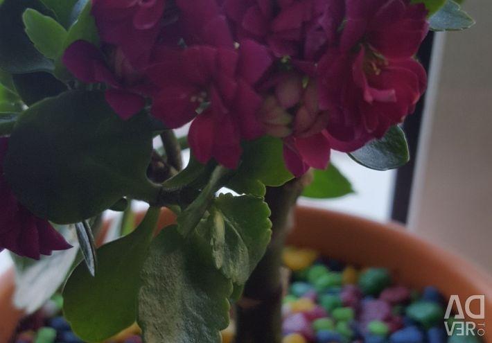 Kalanchoe de Blossfeld (culoarea fuchsiei)