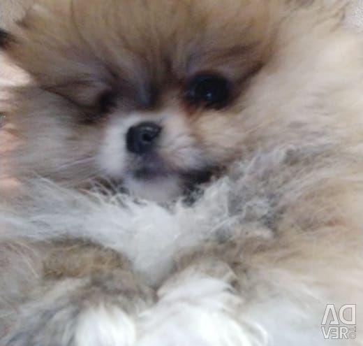 Pomeranian spitz.