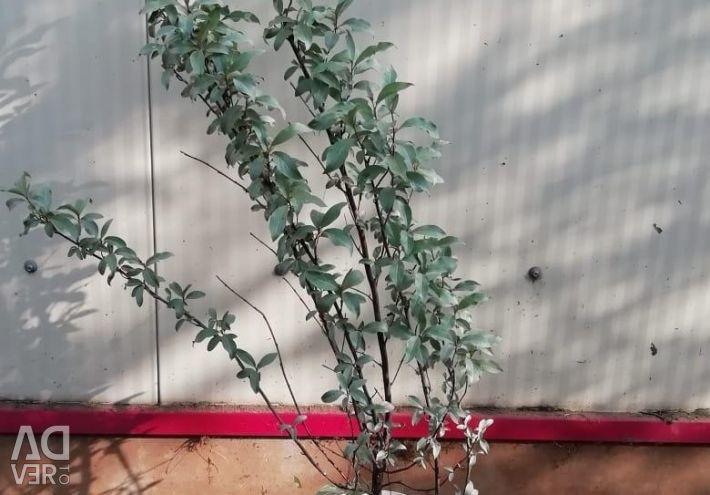 Arbust argintiu de capră