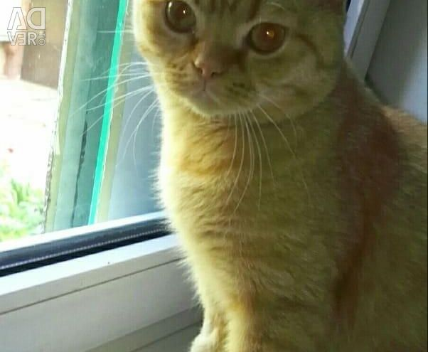 Altın kedi Küçük güneş