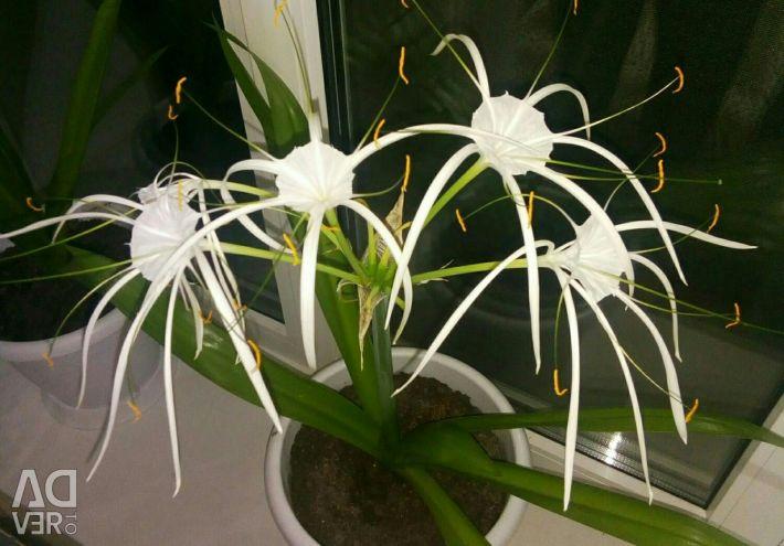 Gimenokallis çiçek