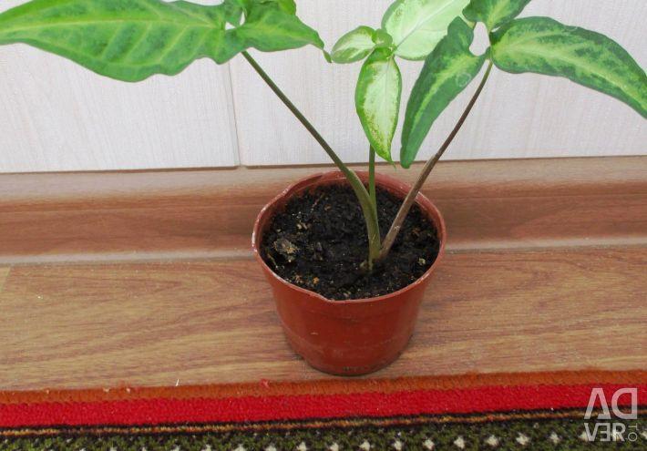 Indoor flower, Syngonium auricular (auricular)