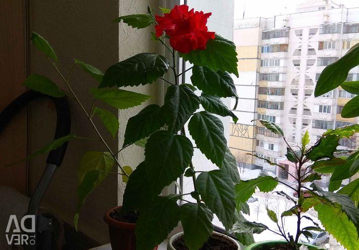 Rose Chinese, Japanese.