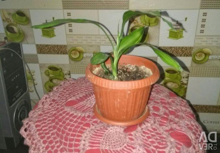 Dracaena variegated