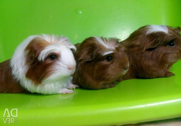 Coronet Guinea Pigs