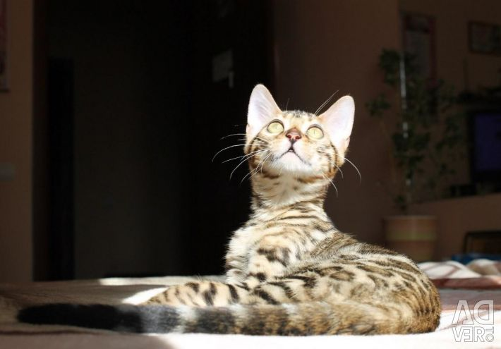 Bengal breed cat kitten
