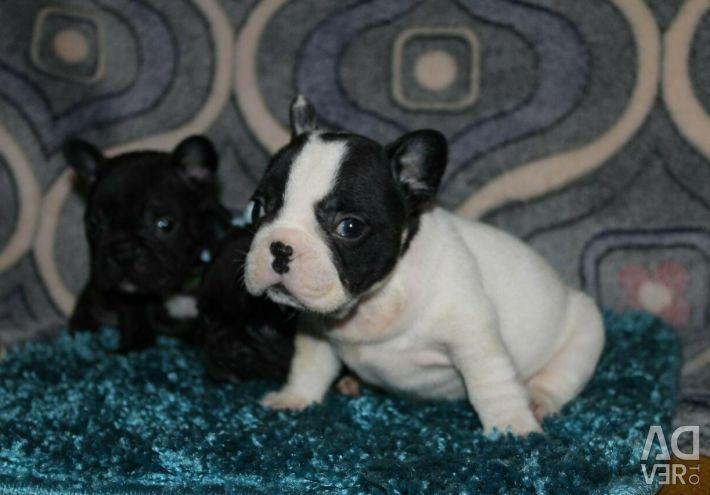 Yavru Fransız Bulldog
