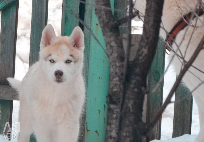 Chic husky puppies from champions