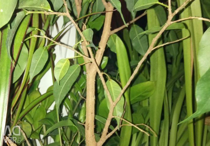 Ficus, mustață stacojie, de aur