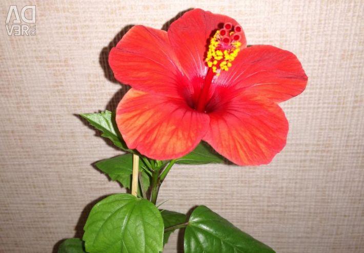 Hibiscus Red