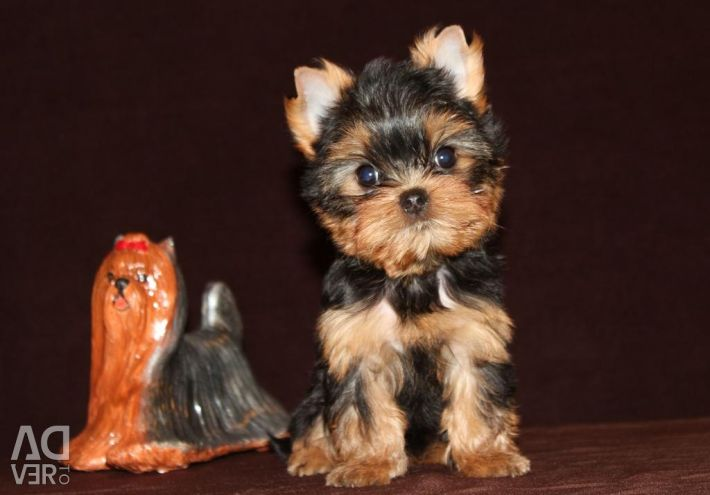 Yorkshire Terrier puppet girl
