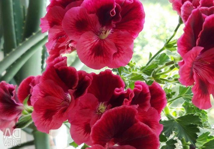 Royal geranium
