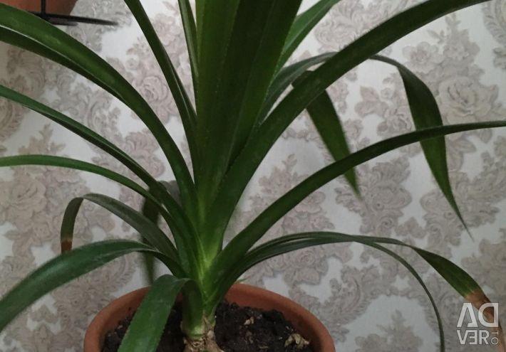 Palma Pandanus