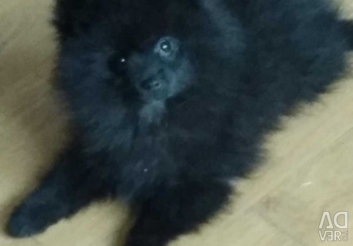Pomeranian puppies for sale puppies