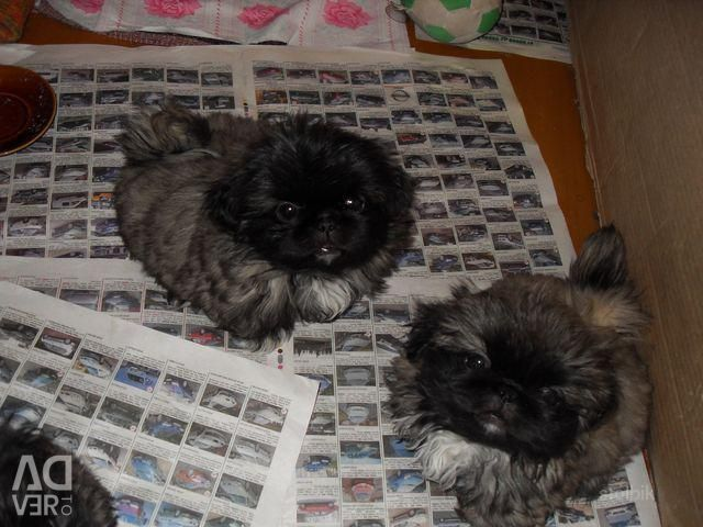 Affectionate and gentle puppies of the Royal Pekingese
