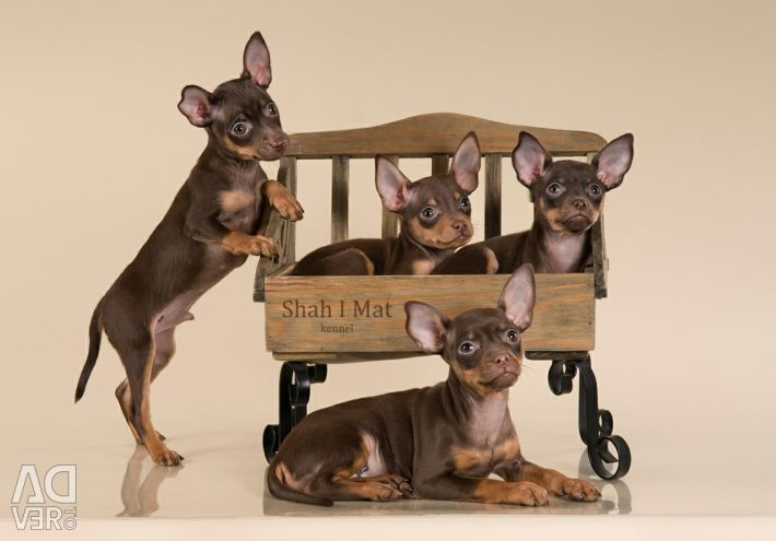 Russian toy puppies with documents!