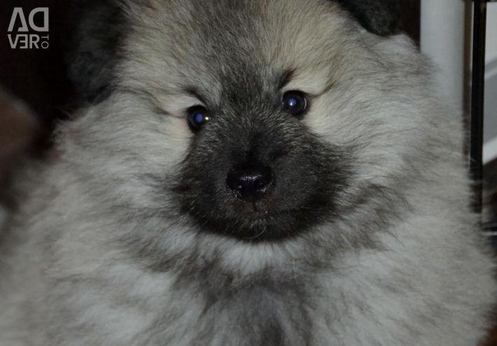 Chic puppies Keeskhond / Wolfspitz Saratov region.