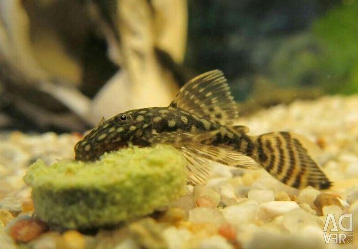 Aqua için yayın balığı seçimi !!!